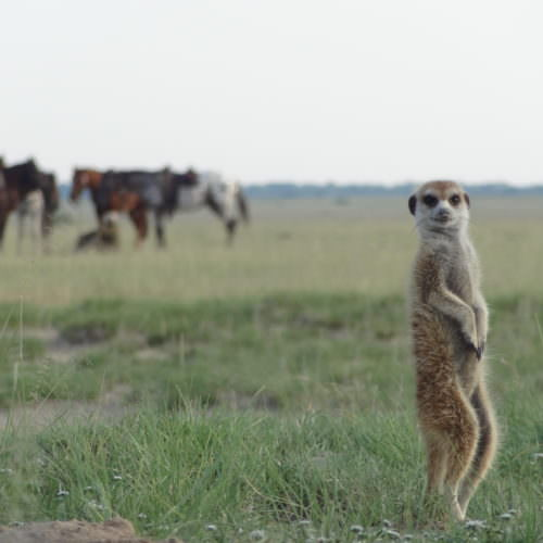Meerkats and horses in Botswana.