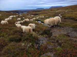 Sheep round up in Iceland