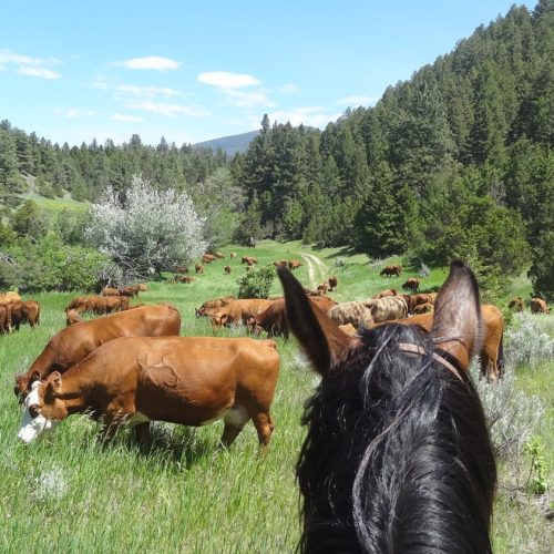 Checking cattle in upper pastures