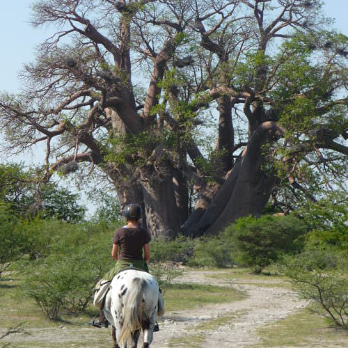 The Kalahari Riding Safari takes you into the Makgadikgadi salt pans of Botswana. Horses. Baobab Tree.