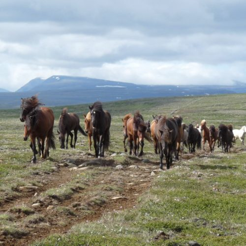 Iceland riding with a herd