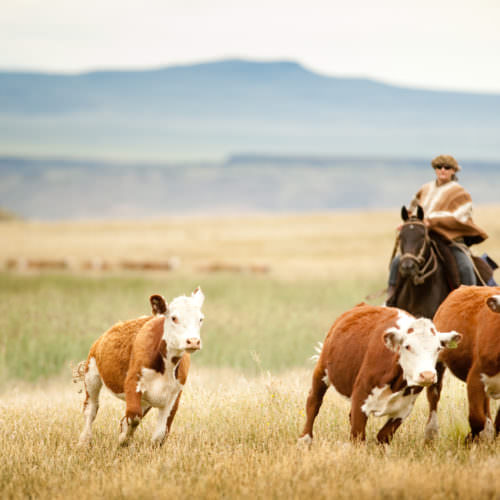 Cattle driving on horseback. Riding Holidays in Argentina