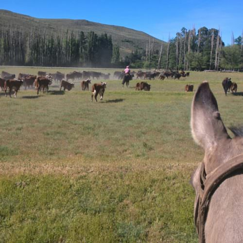 Between the horses ears. A view of cattle whilst horseback riding in Argentina.