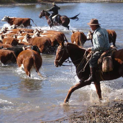 Moving cattle across water using horses. Riding holidays in Argentina. Estancia Huechahue