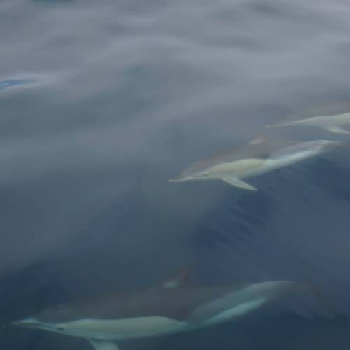 Dolphins. Azores