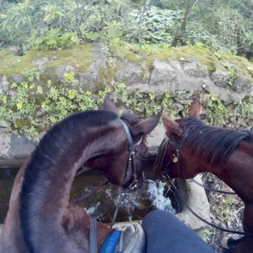 Azores riding holidays. Guest photos. Horses drinking from a stone trough.