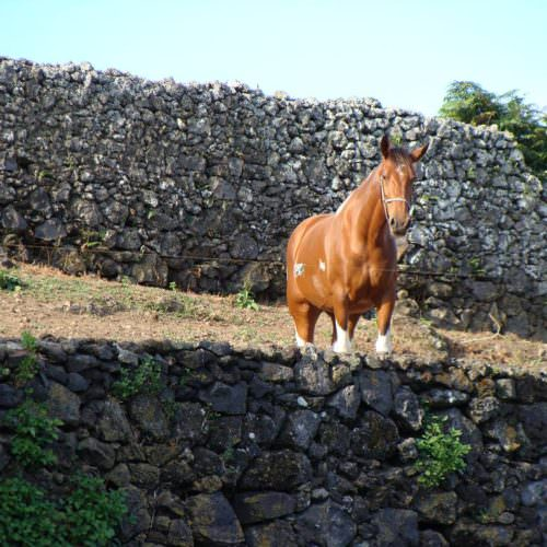 Azores relaxed riding holiday. Horse looking over a wall.
