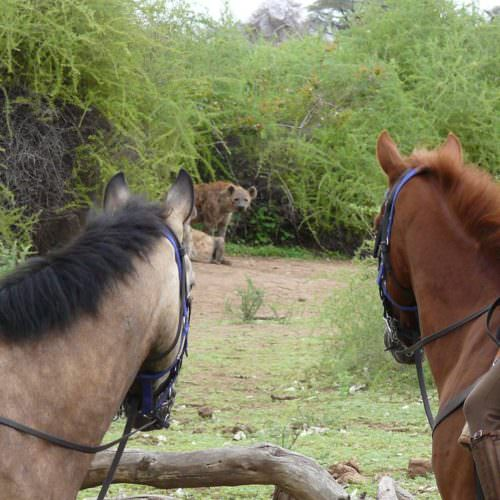Tuli Trail mobile horseback safari holiday. Riding in Botswana. Horses and wild dog.