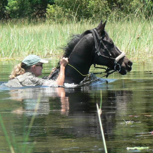 A riding safari exploring the remote western region of Botswana's Okavango Delta. Horse swimming.