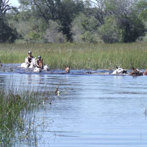 Kujwana riding safari exploring the western region of Botswana's Okavango Delta. Swimming horses