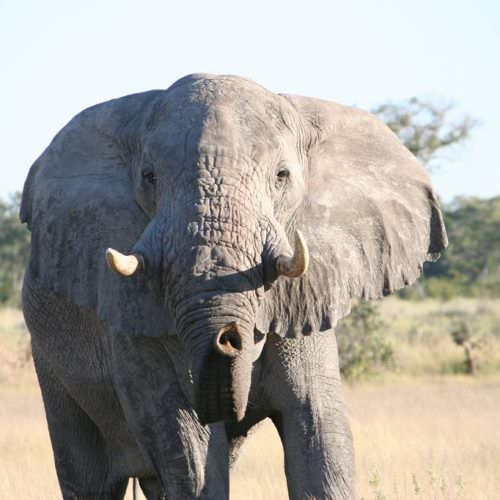 Kujwana riding safari exploring the western region of Botswana's Okavango Delta. Elephant.