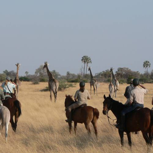 Kujwana riding safari exploring the western region of Botswana's Okavango Delta. Horses and giraffe.