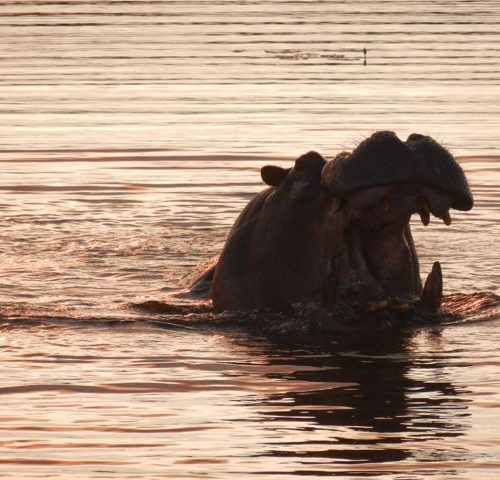 In The Saddle. Riding Safari at Macatoo, Okavango Delta, Botswana. Hippo.
