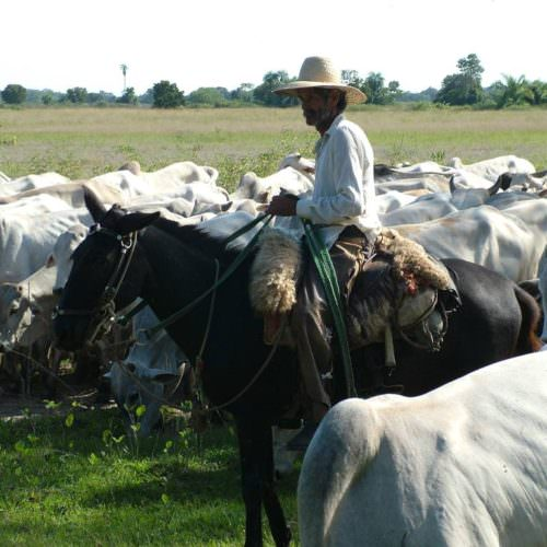 Trail riding holidays in the Pantanal, Brazil. Horses and cattle.