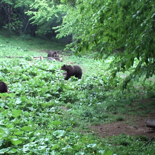 Riding holidays in Transylvania with In The Saddle. Brown bears.