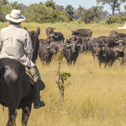 Mobile horseback safari in the Okavango Delta. Riding Holidays in Botswana. Horse and rider watching buffalo.