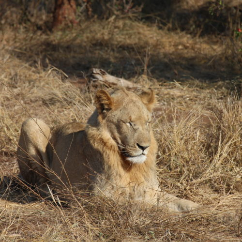 Lions in Swaziland