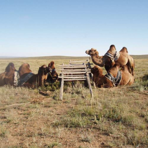 Mongolia camels