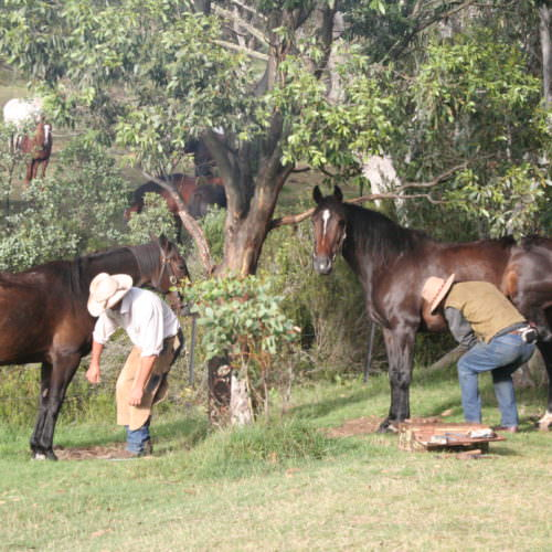 farriers shoeing horses in Australia