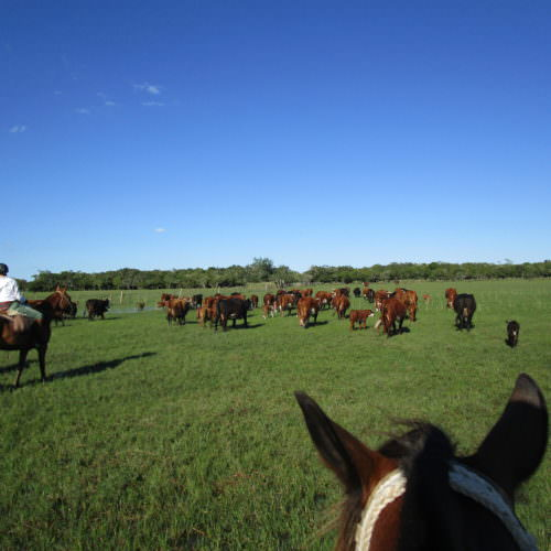 Uruguay cattle. Beach riding holidays in Uruguay with In The Saddle.