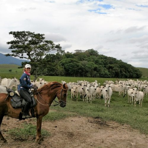 Trail riding holidays in Brazil. Horses in the rainforest. Cattle.