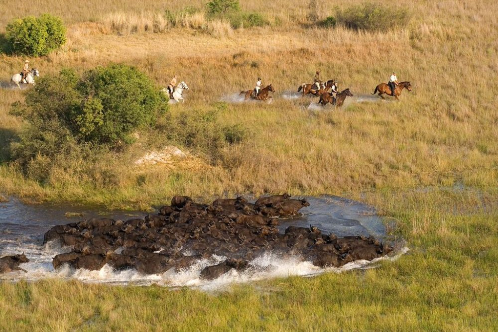 riding with buffalo in the okavango delta
