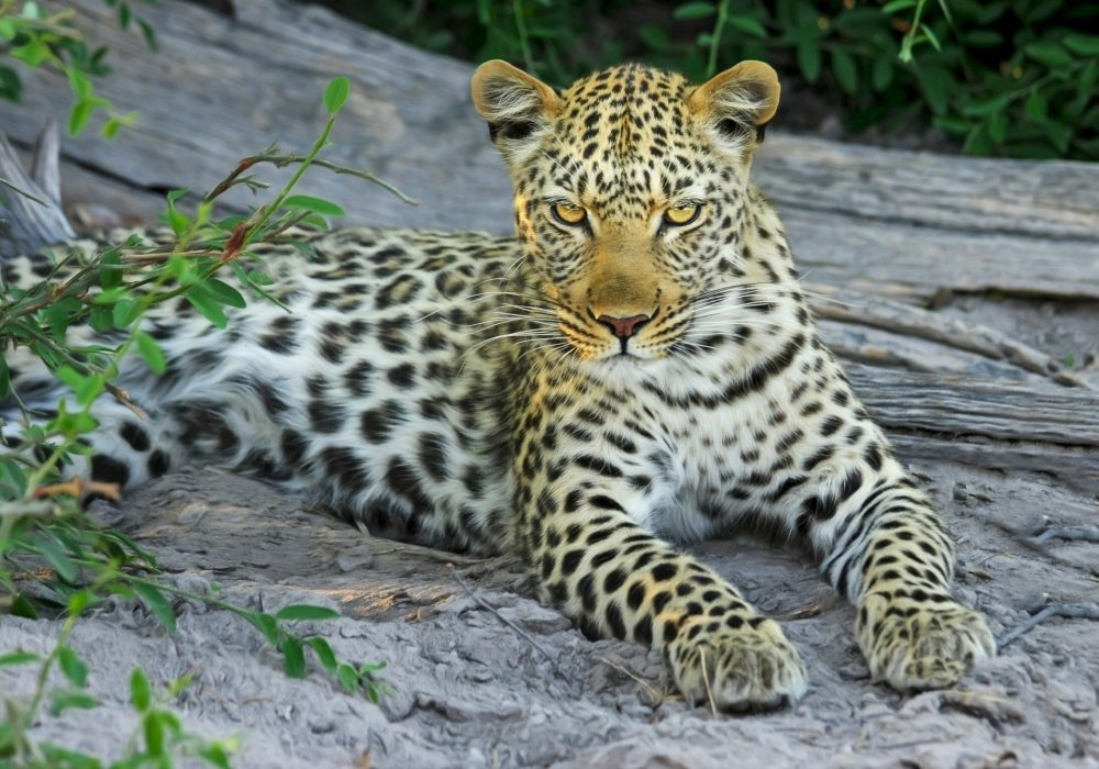 leopards in the okavango delta
