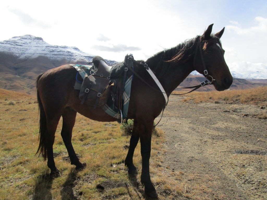 , Breeds from Around the World: Part Four – Basotho Pony, In The Saddle