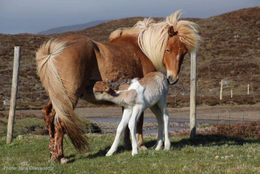 , Breeds from Around the World: Part Six – the Faroese Horse, In The Saddle